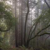 Trees in Fog 1