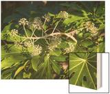 Fatsia Japonica in Flower (Botanical)