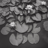 Water On Lily Pads - Brooklyn Botanic Gardens