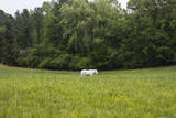 White Horse in Field with Trees