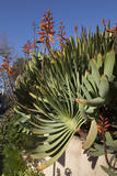 Aloe with Orange Flower