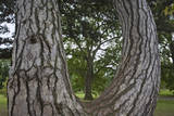 Tree Framed by a Tree Trunk  Horizontal