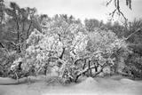 Snow Covered Tree Prospect Park