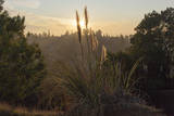 Sun Set Through Pampas Grass