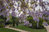 Purple Wisteria  Duke Gardens
