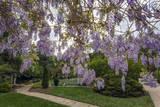 Purple Wisteria  Duke Gardens