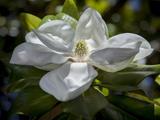 White Magnolia Blossom Close-Up