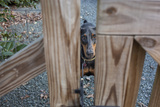 Doberman Pinscher Behind Fence (Dog  Close-Up)