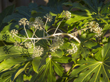 Fatsia Japonica in Flower (Botanical)