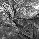 Oak Tree and Fence 2 (Native Woodland  Oakland  CA  Black and White)