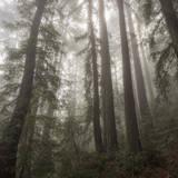 Trees in Fog 3