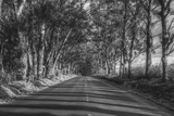 Tree Tunnel to Old Koloa Town (B/W)  Kauai Hawaii