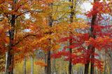 Autumn Sugar Maples  New Hampshire New England