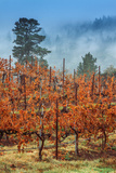 Misty Autumn Vineyard Scene  Calistoga Napa Valley