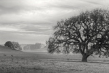 Petaluma Winter Oak Landscape  Northern California
