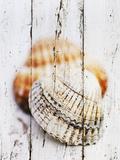 Nantucket Shells III