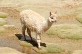 Llama in A Mountain Landscape  Peru