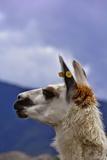 Face of a Llama or Alpaca