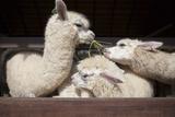 Llama Alpacas Eating Ruzi Grass in Mouth Rural Ranch Farm