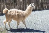 Llama in Purmamarca  Jujuy  Argentina
