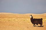 South American Llama