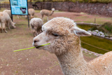 Peruvian Llama Farm of Llama Alpaca Vicuna in Peru South America Andean AnimalLlama is South Ame