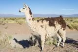 Llama in Salinas Grandes in Jujuy  Argentina