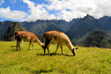 Pair of Llamas in the Peruvian Andes Mountains