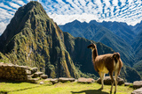 Llama at Machu Picchu  Incas Ruins in the Peruvian Andes at Cuzco Peru