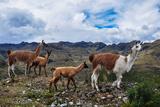 Lamas Family in El Cajas National Park  Ecuador