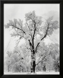 Oak Tree  Snowstorm  Yosemite National Park  1948