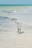 White Heron - Florida