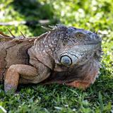 Green Iguana - Florida