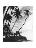 Palms on Hawaii  1930S