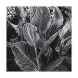 Canna Lily Leaves