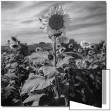 Sunflower in Field 2