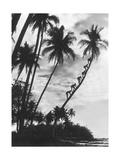 Palmen auf Hawaii  1930er Jahre