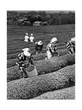 Japanische Teepflückerinnen in Shizuoko  1938