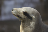 Sea Lion Profile