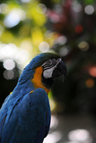 Blue and Yellow Macaw Bird