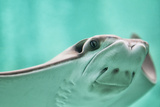 Cownose Ray Closeup