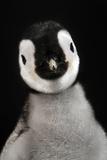 emperer Penguins