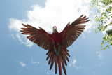 Green Wing Macaw in Flight