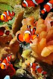 School of Clownfish
