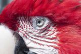 Green Wing Macaw Bird