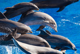 Pod of Dolphins Swimming