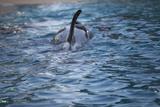 Killer Whale Swimming