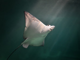 Spotted Eagle Ray Swimming