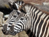 Two Zebras are Pictured in their Enclosure at the Zoopark in Erfurt  Germany