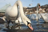 Swans Swim on the River Elbe in Dresden  Germany